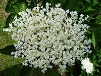 Elderflower1